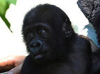 ゴリラの赤ちゃんとお母さんのお見合い始めます! -京都市動物園