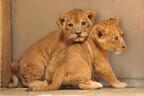 会いにきてね! ライオンの赤ちゃんを一般公開  -名古屋・東山動植物園