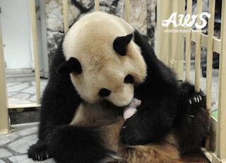 パンダの赤ちゃんの名前を募集中! -和歌山・アドベンチャーワールド