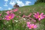 愛媛県翠波高原で8月19日「コスモス祭」 一面のコスモスを背景に