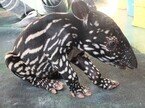 東武動物公園でマレーバクの赤ちゃん「ヒコ」が誕生