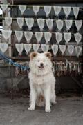 青森まで、あのブサかわいい秋田犬「わさお」に会いに行こう!