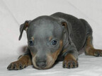 この犬はどんな犬!? 犬種を学んでみよう (3) 小さくてもエネルギーのかたまり!? -ミニチュアピンシャー