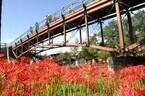 埼玉県日高市で日本一の曼珠沙華の群生地、巾着田に約100万本が咲きそろう