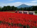 100万本のサルビアが咲きほこる! 鳥取県でオータムフェスティバル開催