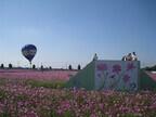 10月14日、コスモスの名所、埼玉県羽生市で「コスモスフェスティバル」開催