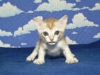 この猫はどんな猫!? 猫種を学んでみよう (5) 可憐で控えめな「小さな妖精」 -シンガプーラ