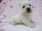 この犬はどんな犬!? 犬種を学んでみよう (7) 明朗活発な、純白のやんちゃ坊主 -ウェストハイランド・ホワイトテリア