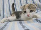 この猫はどんな猫!? 猫種を学んでみよう (9) 折れた耳を持つまんまる猫 -スコティッシュフォールド