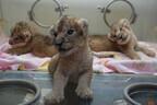 ライオンの赤ちゃん3頭の一般公開が決定 -熊本市動植物園