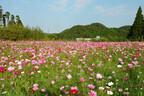 千葉県勝浦市で、約50万本のコスモスが咲き誇る「コスモスフェスタ」開催