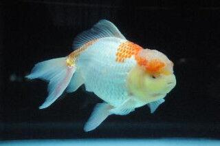 熊本県玉名郡長洲町の「金魚と鯉の郷まつり」で泳ぐ宝石を堪能しよう!!