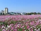 福岡県朝倉市のキリンビール福岡工場にコスモスが咲く季節が到来