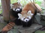北海道・札幌市円山動物園、レッサーパンダの双子の赤ちゃんを一般公開
