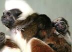 静岡県伊東市・伊豆シャボテン公園でワタボウシタマリンに双子の赤ちゃん