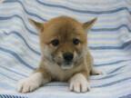この犬はどんな犬!? 犬種を学んでみよう (10) 縄文時代からの古い友人-柴犬