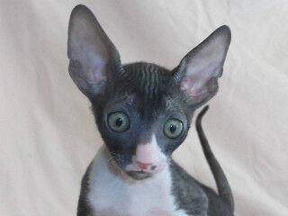 この猫はどんな猫!? 猫種を学んでみよう (10) 毛がカールした珍しい猫 -コーニッシュレックス