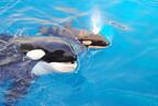 千葉県・鴨川シーワールド、シャチ「ステラ」が5頭目の赤ちゃんを出産