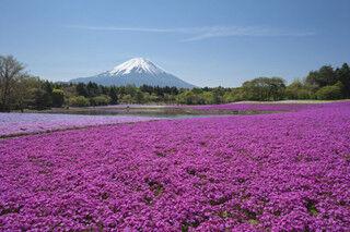 山梨県・本栖で80万株の芝桜と富士山の競演「2013富士芝桜まつり」開催決定