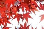 東京都、新選組土方歳三ゆかりの高幡不動で「もみじまつり」開催