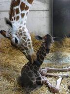神奈川県・金沢動物園でアメミキリンの赤ちゃん誕生!
