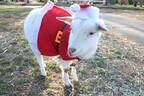 千葉県・成田ゆめ牧場で、動物たちがサンタやトナカイに大変身!