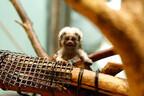 石川県・いしかわ動物園で、ワタボウシタマリン&アミメキリンの赤ちゃん誕生