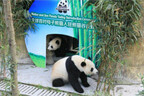 パンダの母と娘が野性化プログラムに挑戦、パンダ大使も決定!