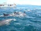遭遇率100%! 熊本県天草で野生イルカの天然パフォーマンスに魅せられる