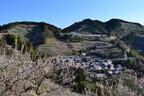 和歌山県田辺市「紀州田辺梅林」、2013年は2月1日から3月3日まで開園