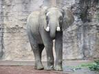 東京都・多摩動物公園に3歳オスのアフリカゾウが来園