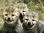 群馬県富岡市・群馬サファリパークで、チーターの赤ちゃんが誕生