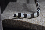 東京都・サンシャイン水族館で、シマウミヘビと伊勢えびを展示