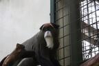 北海道・札幌市円山動物園に「世界で最も美しいサルの一種」が来園
