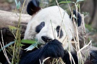 東京都・上野動物園でもふもふのパンダに会ってきた