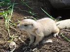 茨城県・かみね動物園でプレーリードッグの赤ちゃん誕生!