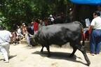 沖縄県の闘牛は、牛VS牛! うるま市で「全島闘牛大会」開催
