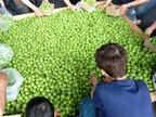 宮城県で「おおがわら梅まつり」開催-梅干しの種飛ばし大会など