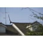 【雑学キング!】「ツバメが低く飛ぶと雨」は本当か? 天気のことわざを調べてみた