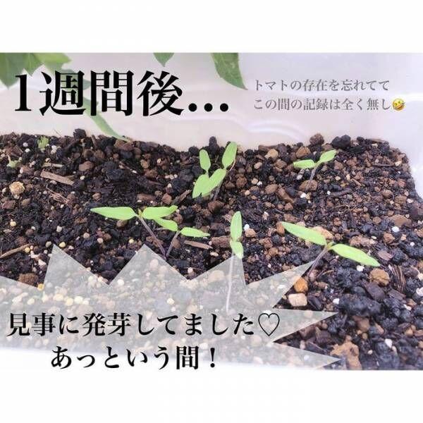 トマトの種、とって植えたらどうなる!?おうち時間に楽しむ家庭菜園の画像