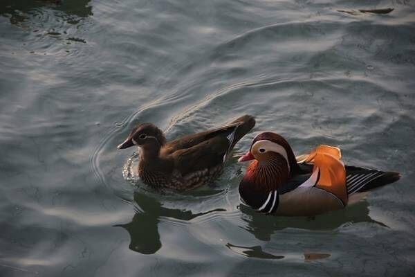 Mandarin duck 416290 640