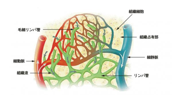 1024px illu lymph capillary ja 1