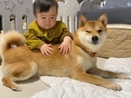 """「お互い成長していると実感」赤ちゃんの様子をウインクで見守る""""柴犬兄さん""""が頼もしすぎる"""