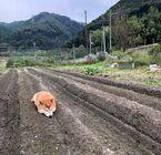 「これは立派、収穫したい…」畑に実った柴犬が話題、ふかふかな土が犬の特等席に