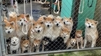"""秋田犬と柴犬がギュッと集まる""""もふもふパラダイス""""に反響 人懐っこい理由は「犬同士の触れ合いがあるから」"""