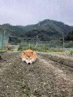"""「大きく育ちましたね…」""""畑に実った柴犬""""の憎めない表情に「収穫したい」と反響"""