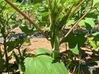収穫体験させてみたら、子どもの野菜ぎらいに変化が!