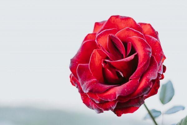 【花言葉】「愛」にまつわる花