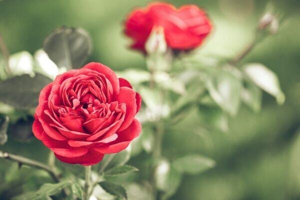 色によっても変わる「薔薇」の花言葉