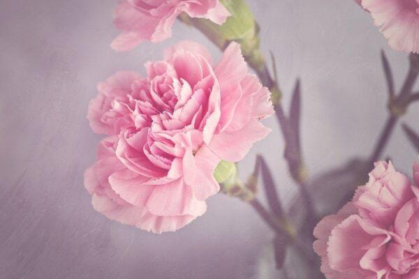 「母の日」にカーネーションが贈られる理由